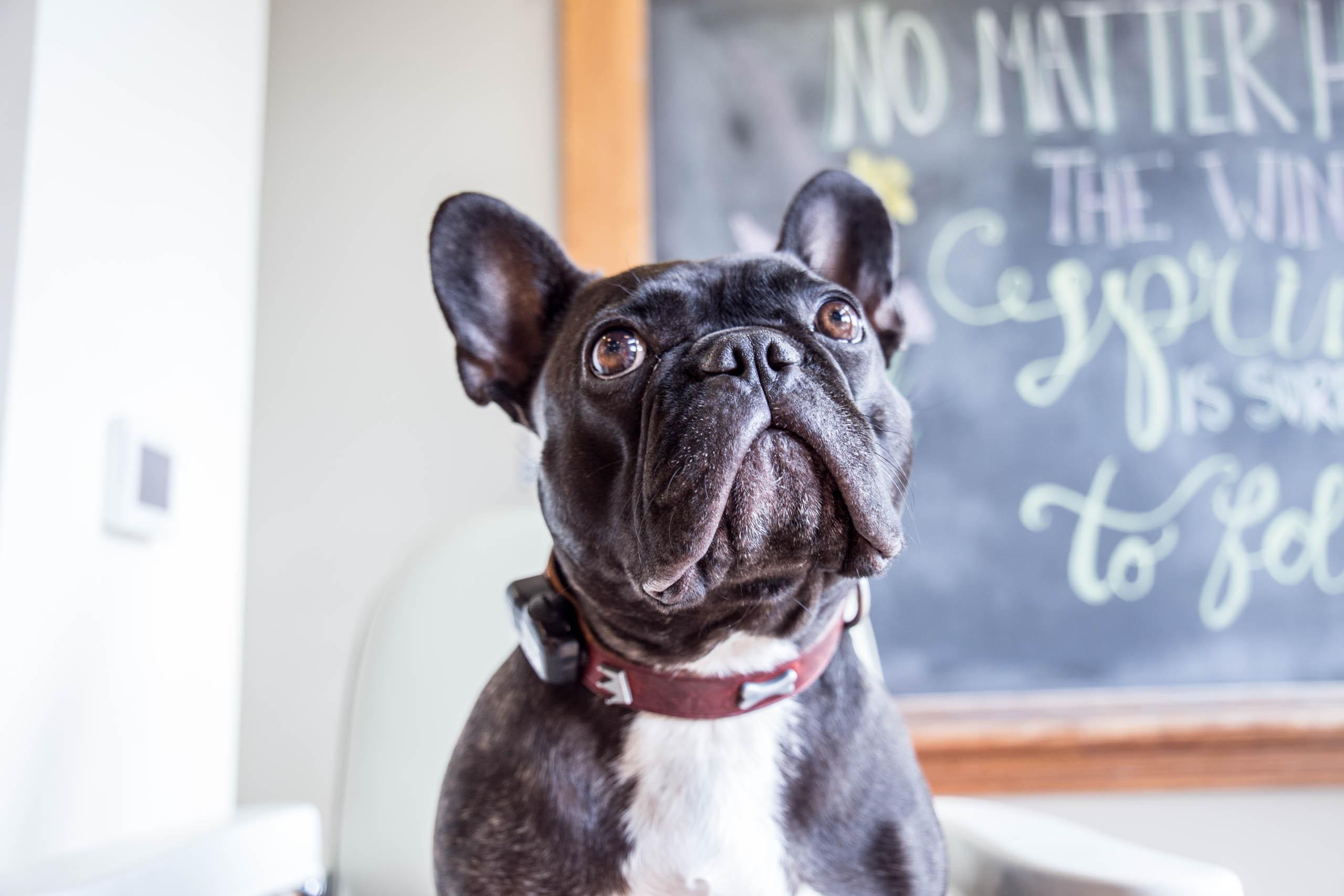 Photograph of Boudreau, Office Dog